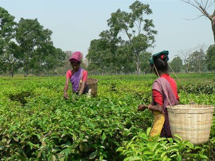 Harvesting Assam tea (John Mitchell)