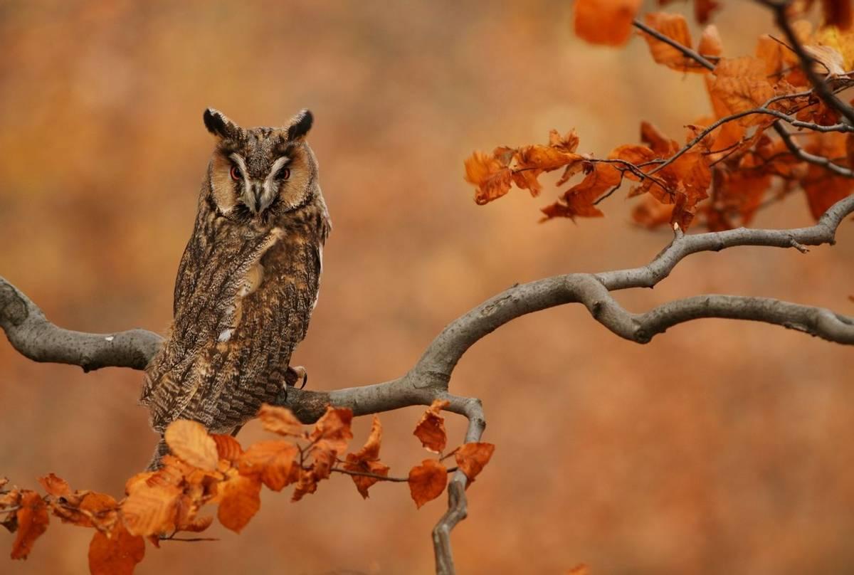 Long-eared Owl (Peter Krejzl).jpg