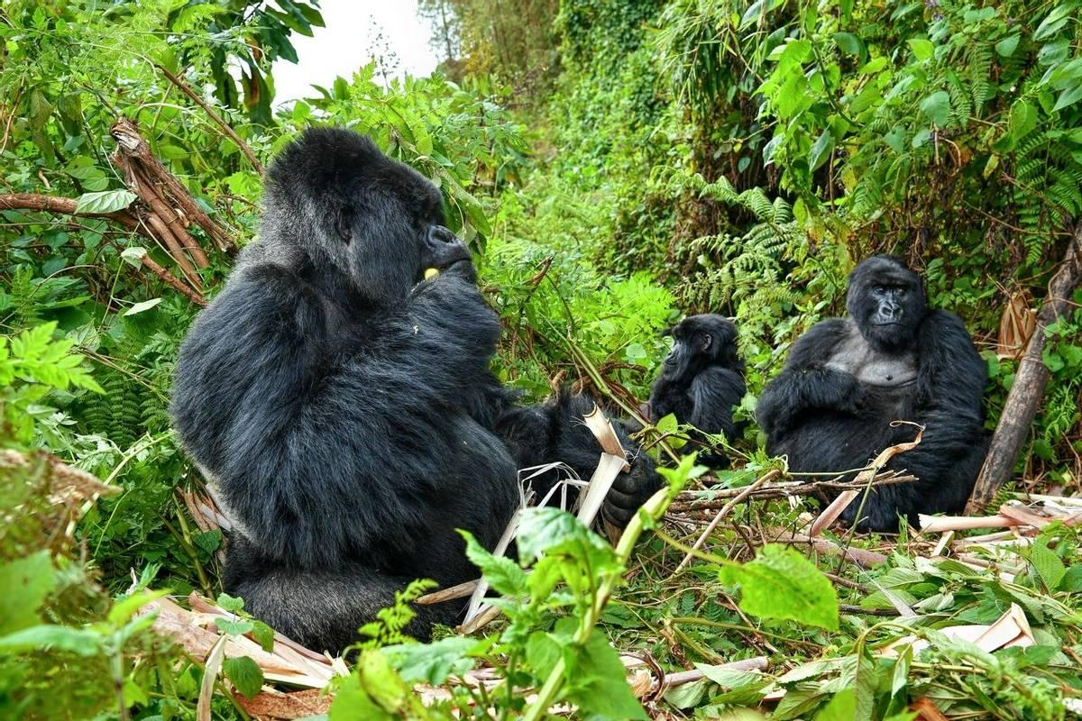 Mountain Gorillas, Uganda Shutterstock 547835221