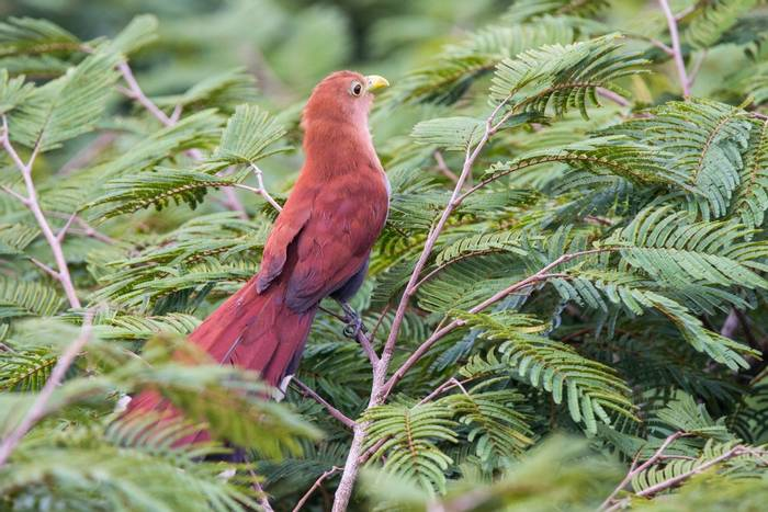 Squirrel Cuckoo (Ian Talboys)