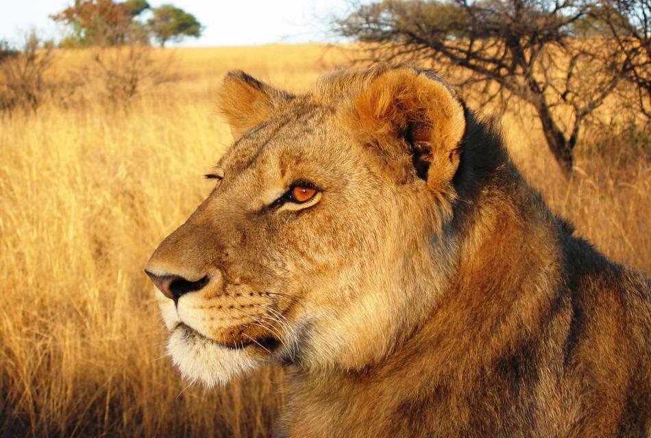 Lion, Game Ranch, Zimbabwe, Safari