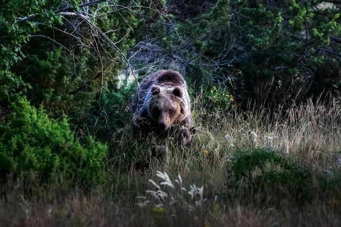 Marsican Brown Bear, Italy shutterstock_1772214494.jpg