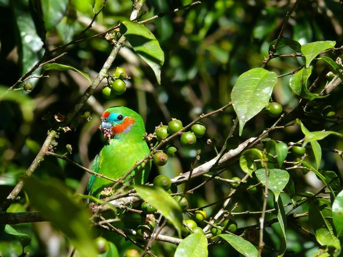 double-eyed fig parrot, Australia. shutterstock.jpg