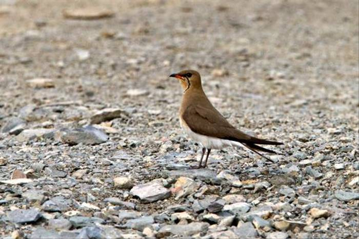 Collared Pratincole (Alan Curry)