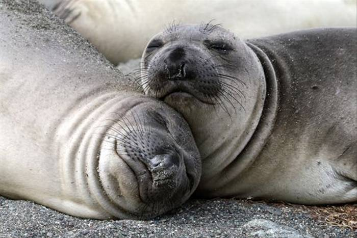 Northern Elephant Seals (Lee Morgan)