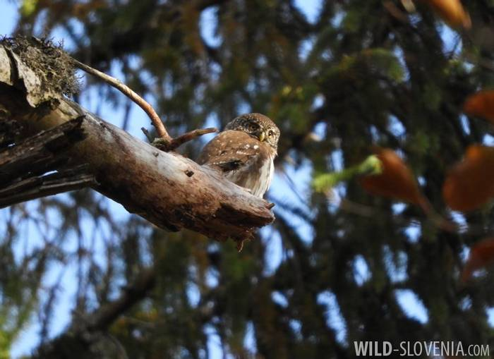 DSCN0362 Pygmy Owl  (Domen Stanic)