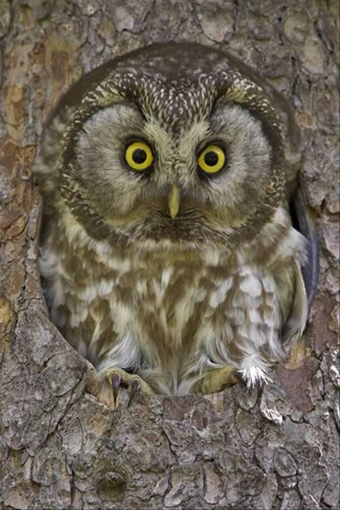 Tengmalm's Owl (Jari Peltomaki)