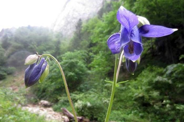 Siberian Iris (Rob Murray)