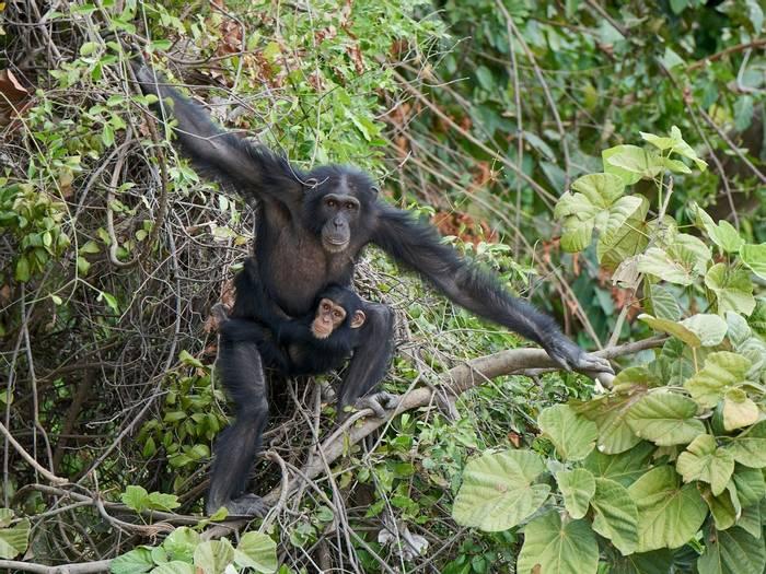 Chimpanzee, Baboon Island, The Gambia shutterstock_1337163068.jpg