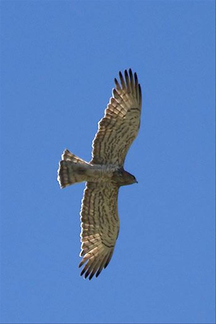 Short-toed Eagle (Colin Brown)