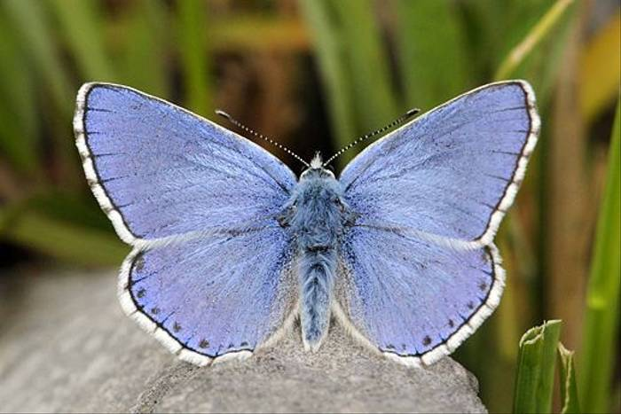 Adonis Blue (Andrew Cleave)