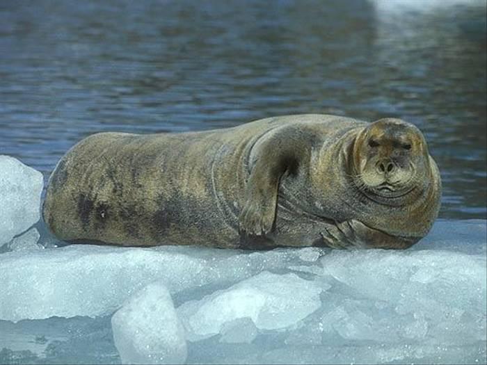 Bearded Seal (Paul Stanbury)