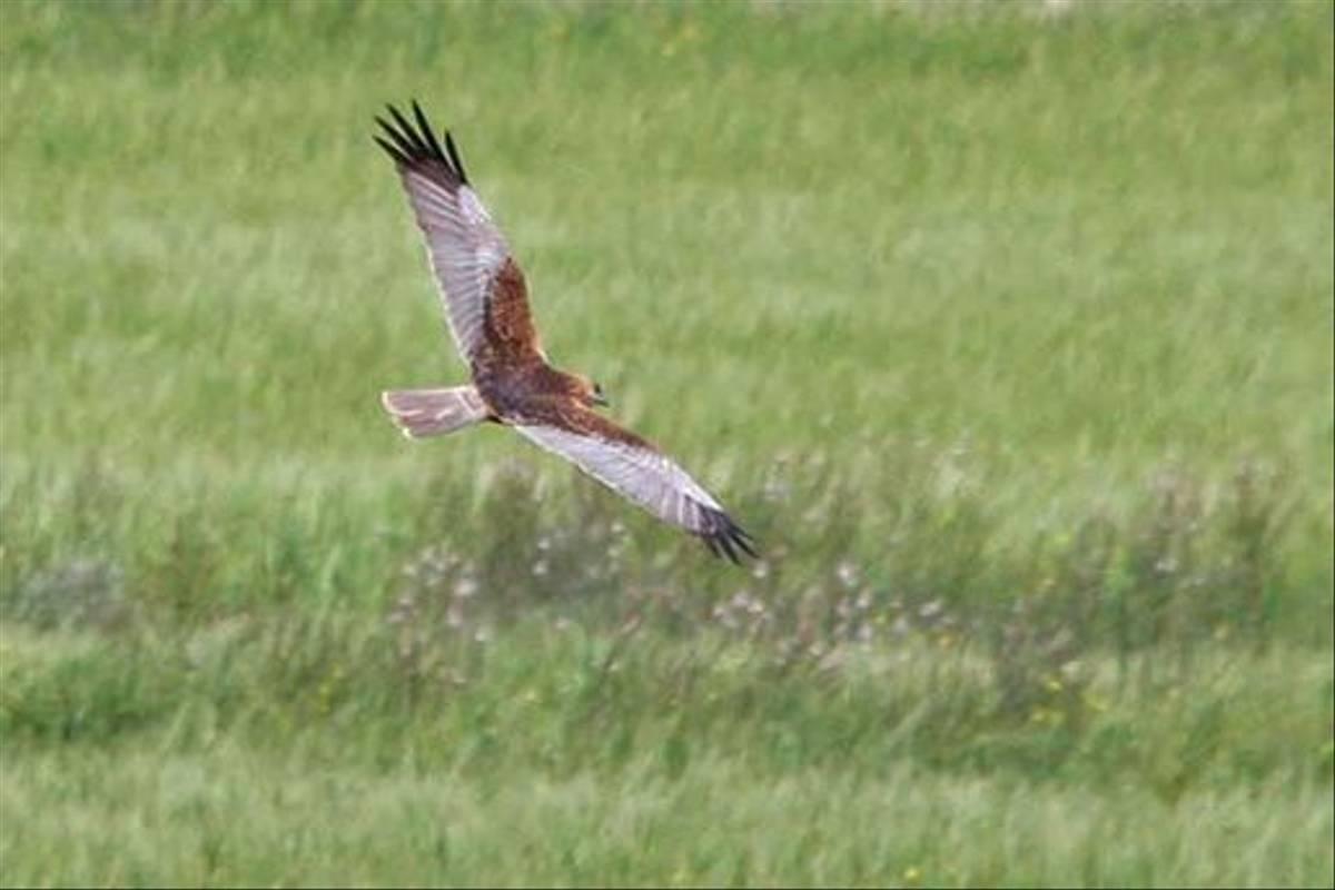 Marsh Harrier (Alan Outen)