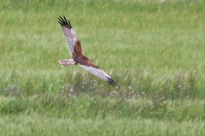 Marsh Harrier (Alan Outen)