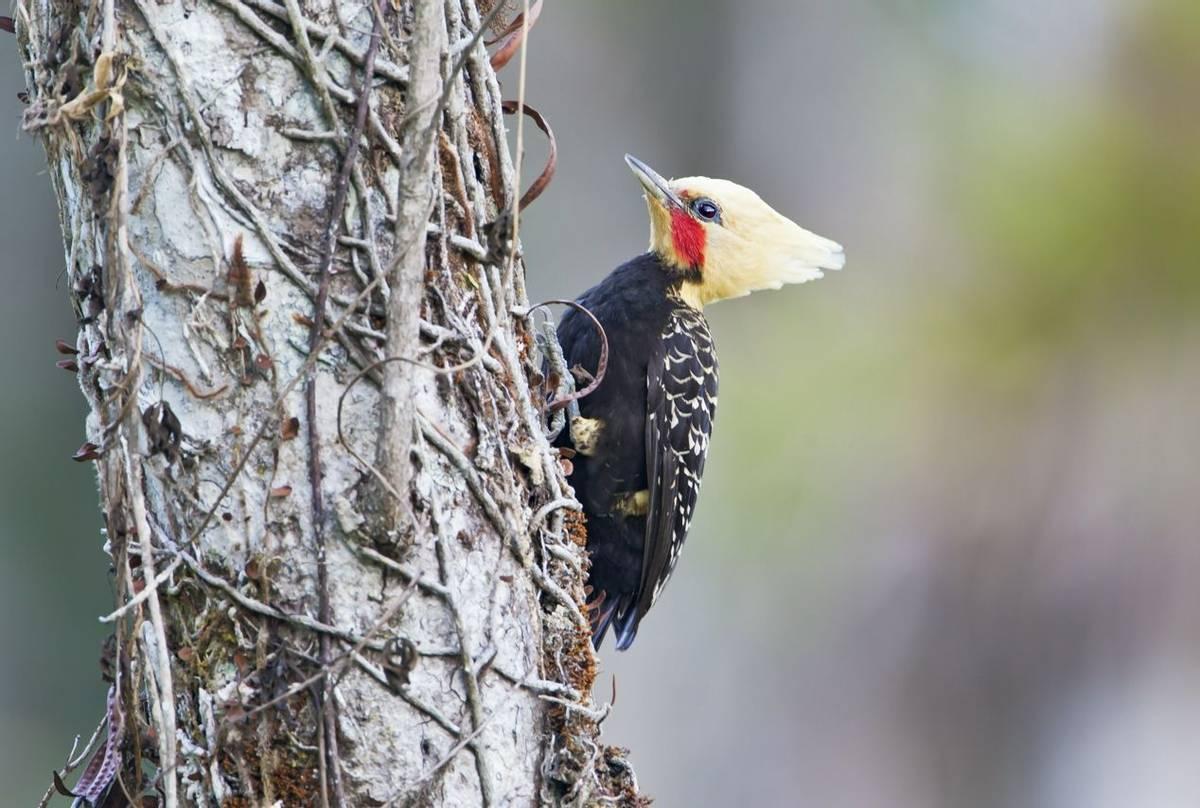 Blonde-crested Woodpecker
