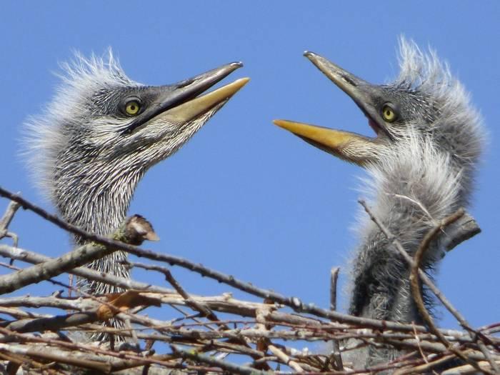 Heron Babies (Deborah Hart)