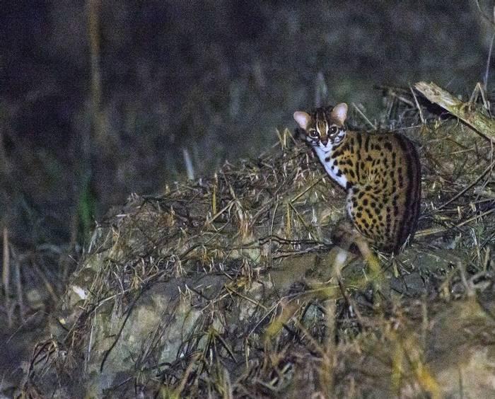 Leopard Cat (Clive Turnbull)