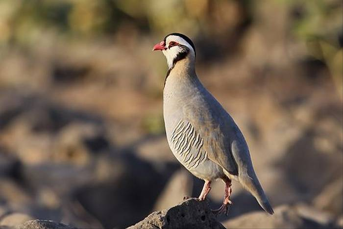 Arabian Partridge (Chris-Ward)