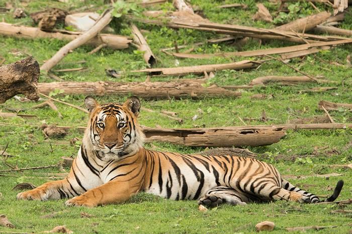Tiger (Kaustubh Mulay).png