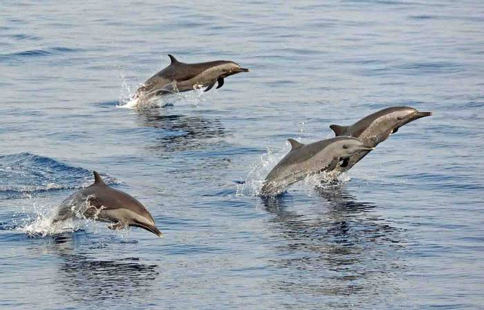 Spotted Dolphins (Charles Anderson)
