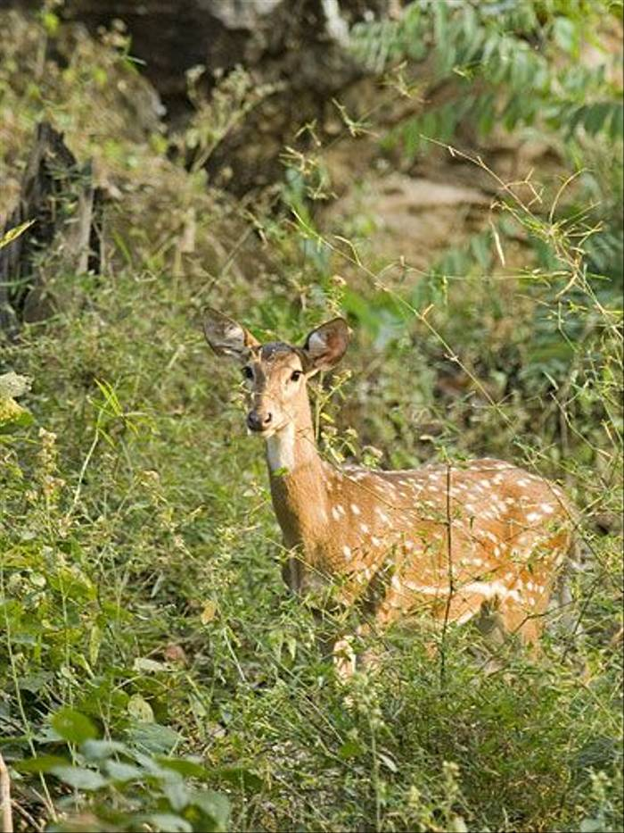 Spotted Deer (Paul Marshall)