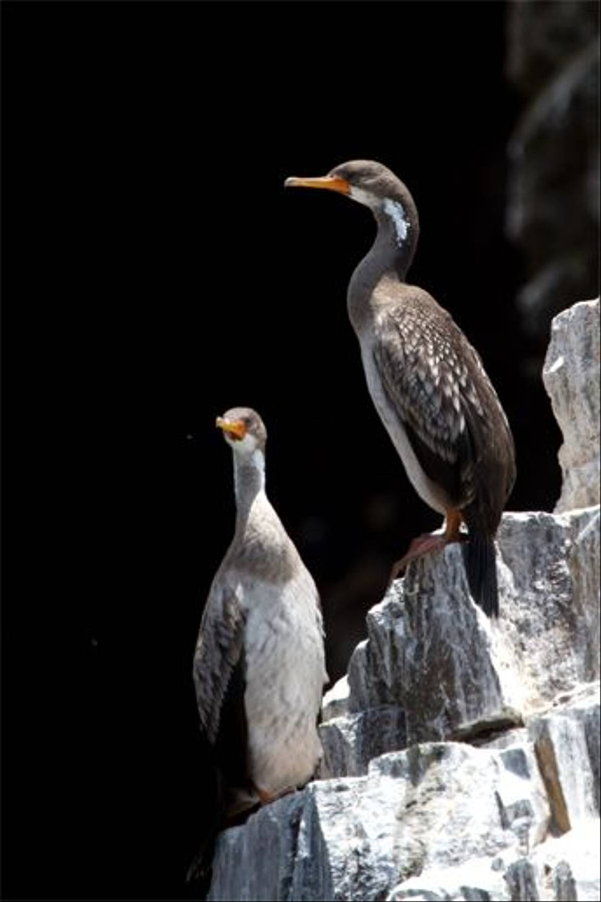 Red-legged Cormorant (Mike and Karen Galtry)