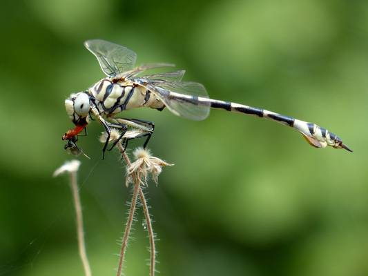 Bladetail Lindenia (David Smallshire)
