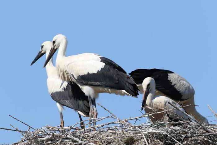 White Stork (Gerald Broddelez)