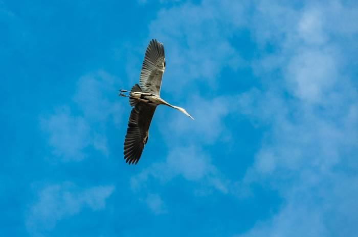 White-bellied Heron, Himalayas shutterstock_1677216829.jpg