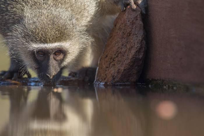 Vervet Monkey (Jonathan Lewis)