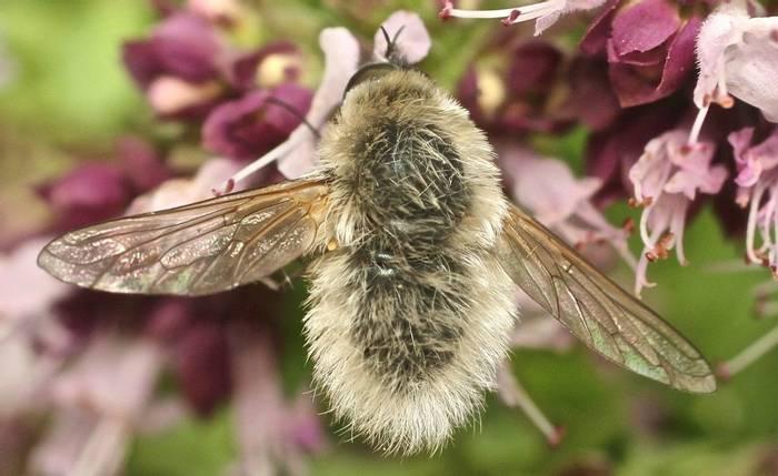 Bee fly species (Alan Outen)