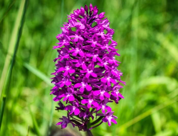 Pyramidal Orchid (Russ Hedley).jpg