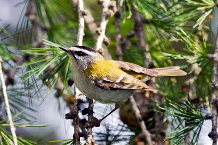 Firecrest, Lowres (Lee Morgan)