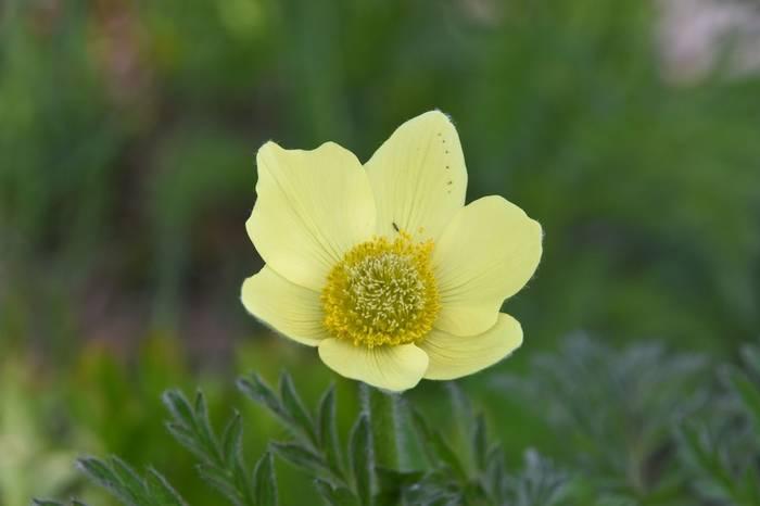Alpine Pasque Flower (Pulsatilla alpina subsp. apiifolia)