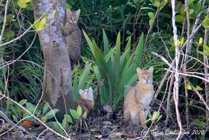 Jungle Cats (Sujan Chatterjee)