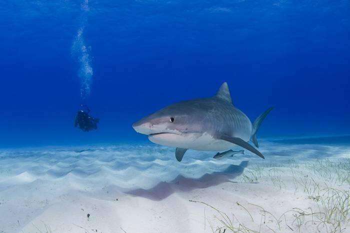 Tiger Shark, Bahamas shutterstock_400008250.jpg