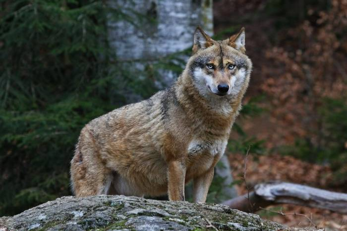 Grey Wolf shutterstock_573698929.jpg