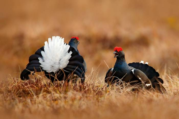 Black Grouse shutterstock_1119645302.jpg