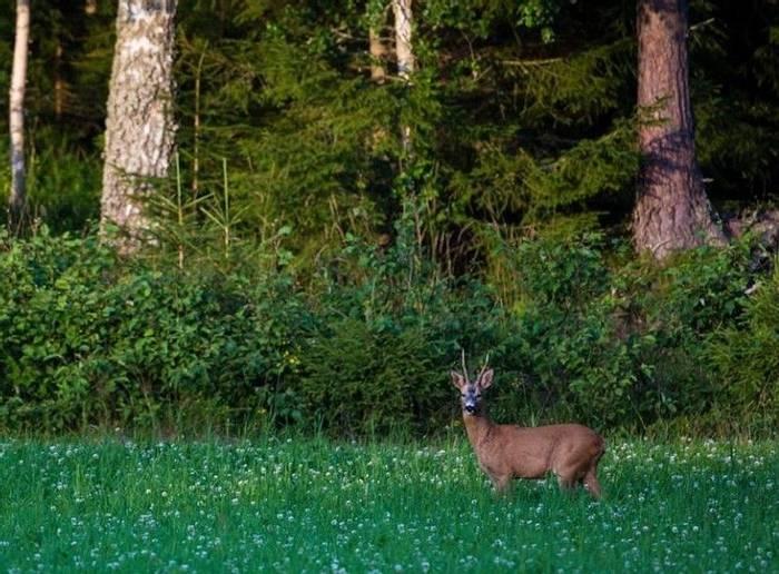 Roe Deer (Marcus Westberg)