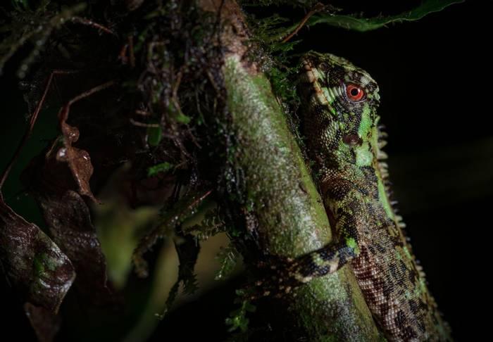 Red-eyed Woodlizard (Enyalioides oshaughnessyi), Ecuador
