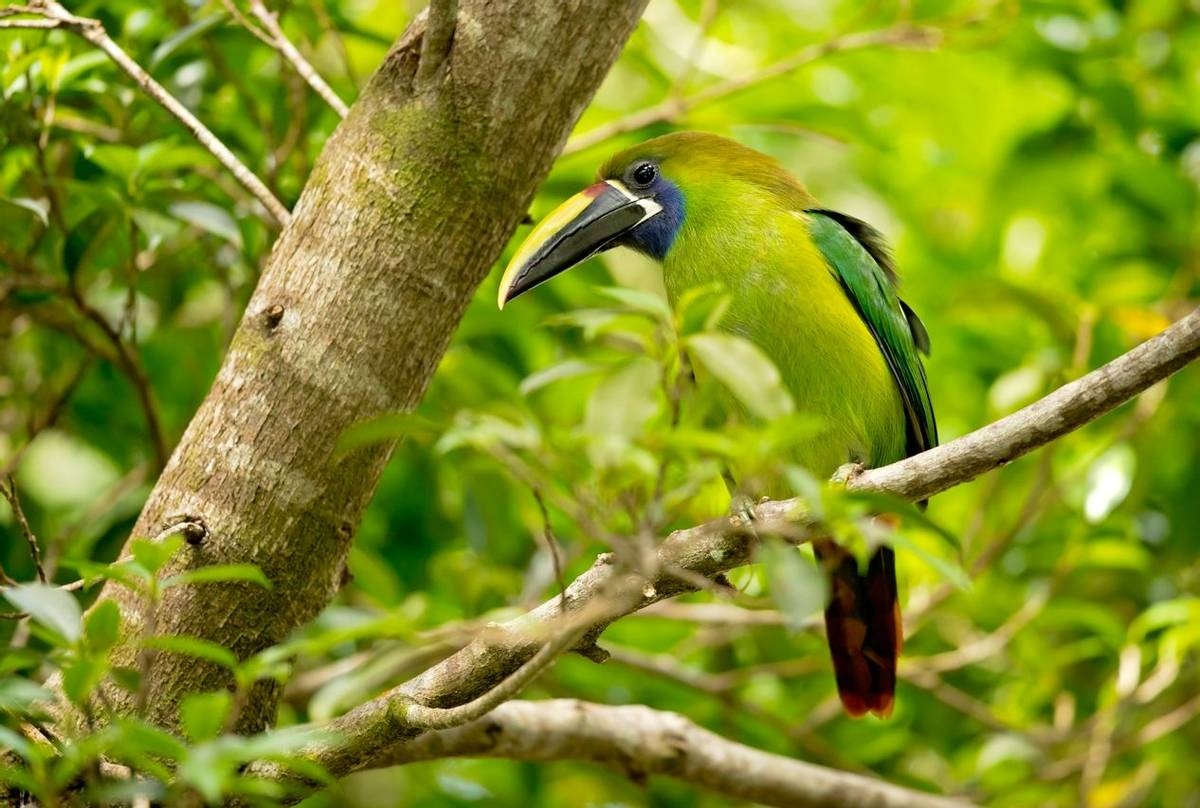 Emerald Toucanet, Costa Rica Shutterstock 1032643102