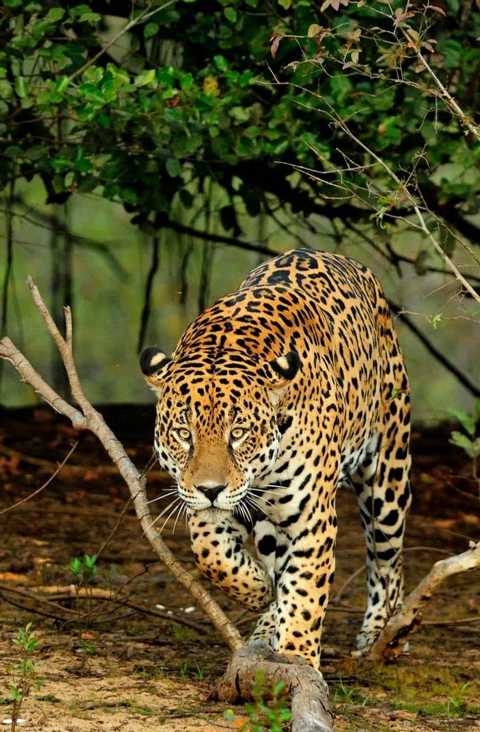 Jaguar, Brazil, Shutterstock 1115835533