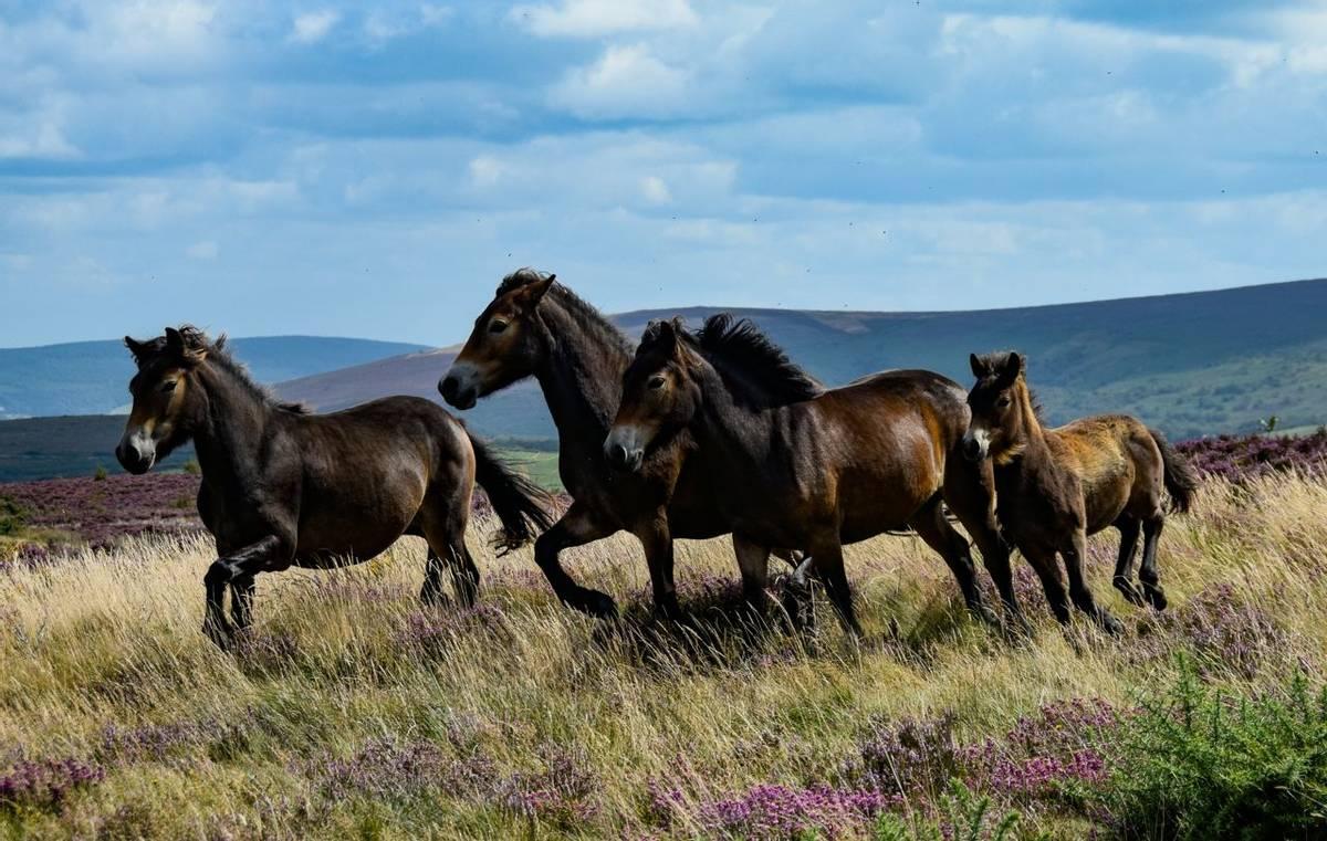 Widlife - Exmoor Ponies - AdobeStock_285304948.jpeg