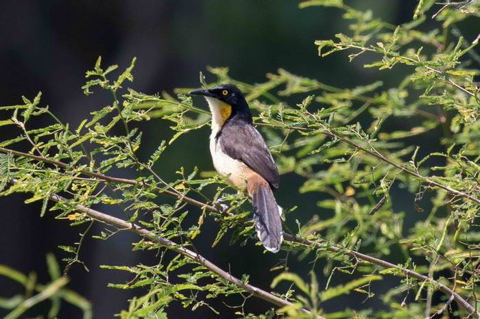 Black-capped Donacobius (Chris Hutchinson)
