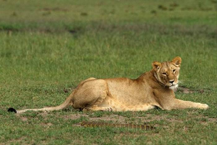 Lioness and Monitor Lizard (Bret Charman)