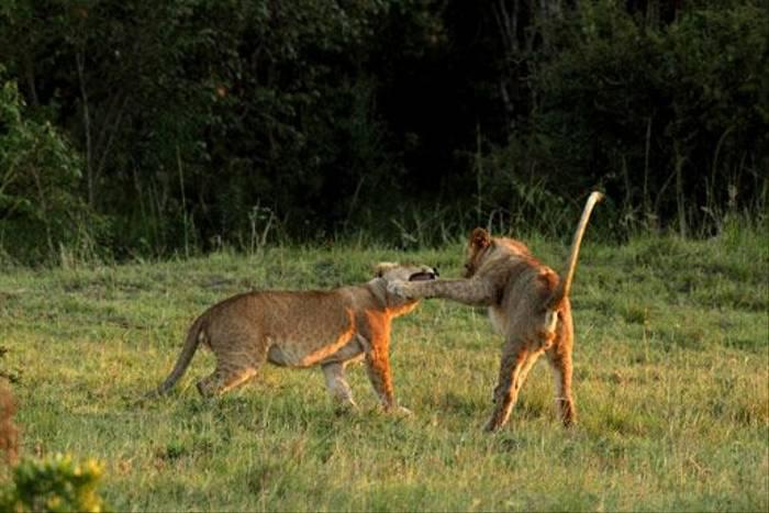Lion cubs playing (Bret Charman)