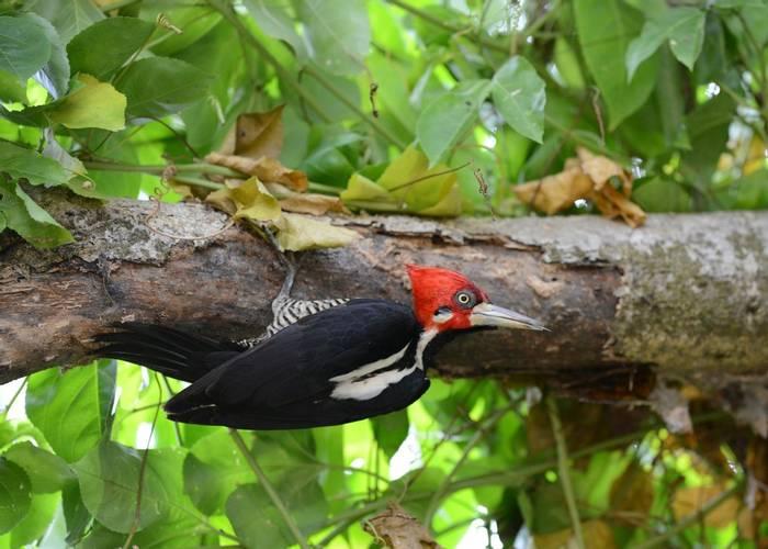 Crimson Crested Woodpecker (Stephen Woodham)