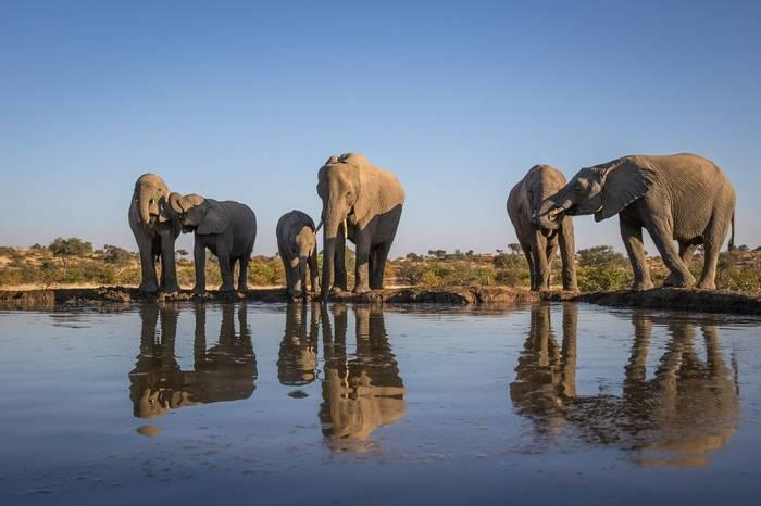 African Elephants Shutterstock 1099088111