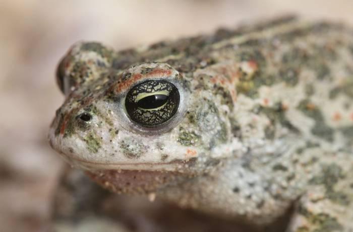 Natterjack Toad, UK shutterstock_540971326.jpg