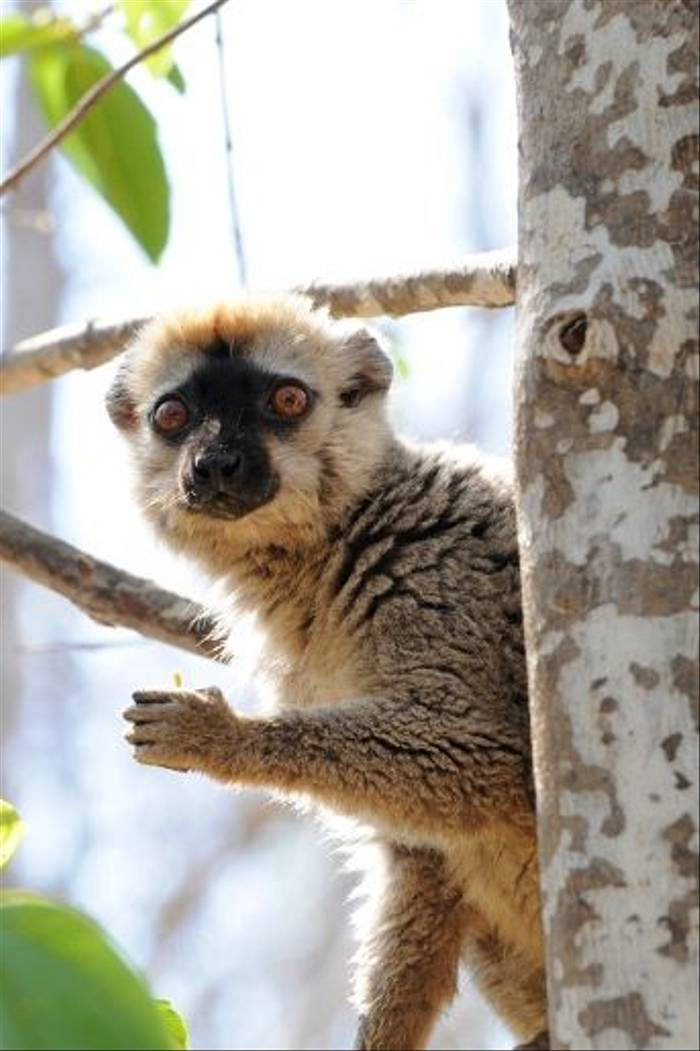 Red-fronted Brown Lemur, Kirindy (Stephen Woodham)